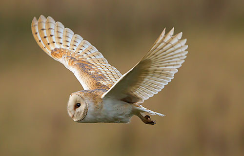 Barn Owl, flying through the Reserve